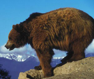 grizzly bear trigger stress response